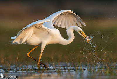 Great Egret .... Fishing