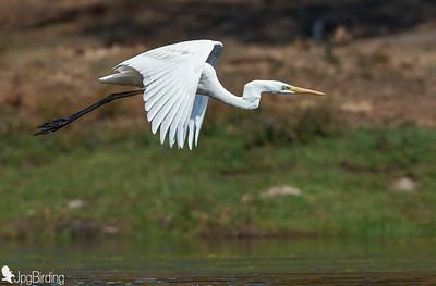Great Egret .... in flight