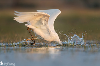 Great Egret .... Fishing