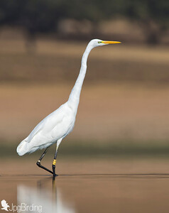 Great Egret .... Walking on the water.
