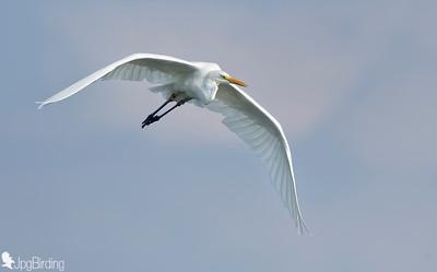 Great Egret .... Flight