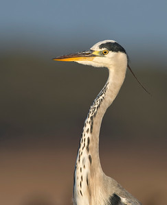 Grey Heron.... portrait.