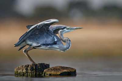 Grey Heron .... ready to fly.