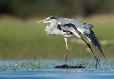 Grey Heron.... walking on the water.