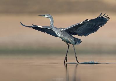Grey Heron.... classic ballet.