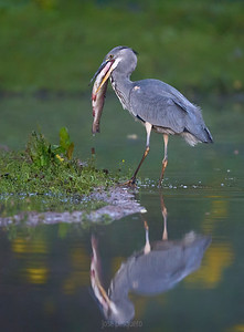 Grey Heron.... with its trout.