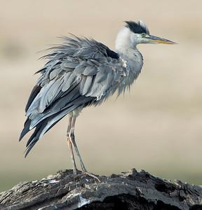 Grey Heron.... standing