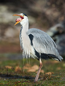 The gobbling of the grey heron