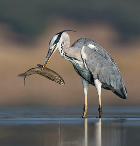 Grey Heron.... with its barbel.