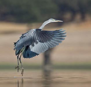 Grey Heron.... flying over the water.