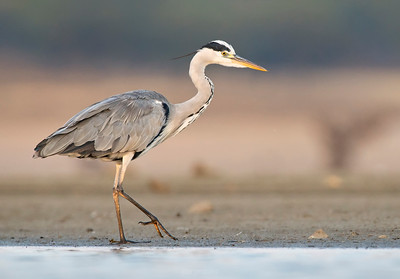 Grey Heron.... walking out of water.
