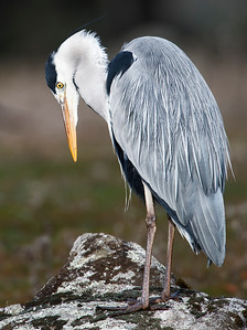 Grey Heron.... standing on the stone