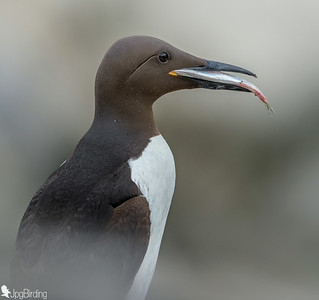 Common guillemot (Uria aalge)