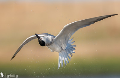 Gull-billed Tern - shaking water