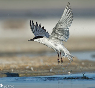 Gull-billed Tern - in flight.