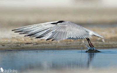 Gull-billed Tern - taking off.