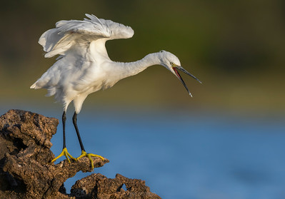 Little Egret standing