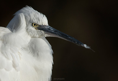 Little Egret. Portrait
