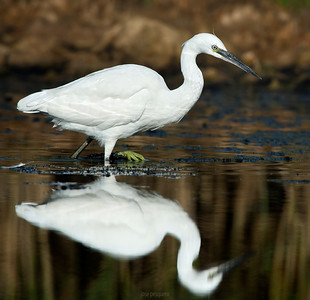 Little Egret while fishing