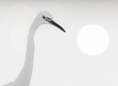 Little Egret. Portrait