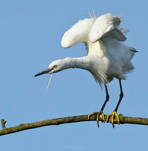 Little Egret standing on the branch.