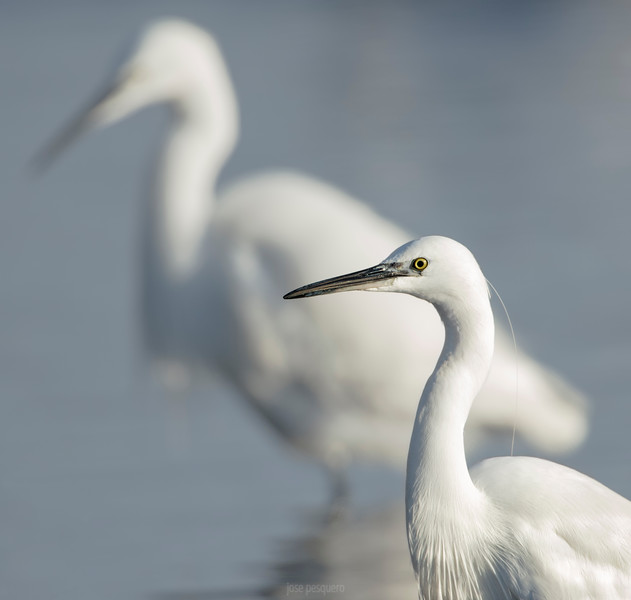A couple of little egrets.