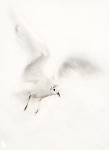 Seagull - low speed