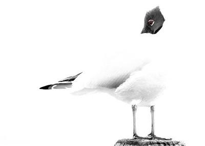 Seagull ... high key