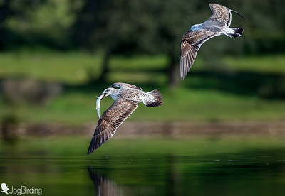 A couple of gulls...... chasing!!!!