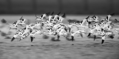 Pied Avocet (Recurvirostra avosetta).... flock in flight