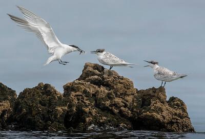 Sandwich Tern in flight with a capture