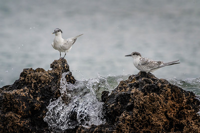 Sandwich Tern on the rock