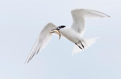 Sandwich Tern in flight - Scotland