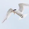 Sandwich Tern in flight - Scotland