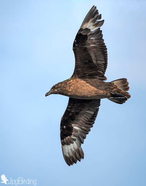 Catharacta skua - This bird eats mainly fish, seabirds, eggs, carrion, offal, rodents, rabbits and occasionally berries. It will often obtains fish by robbing gulls, terns and even Northern Gannets of their catches.
