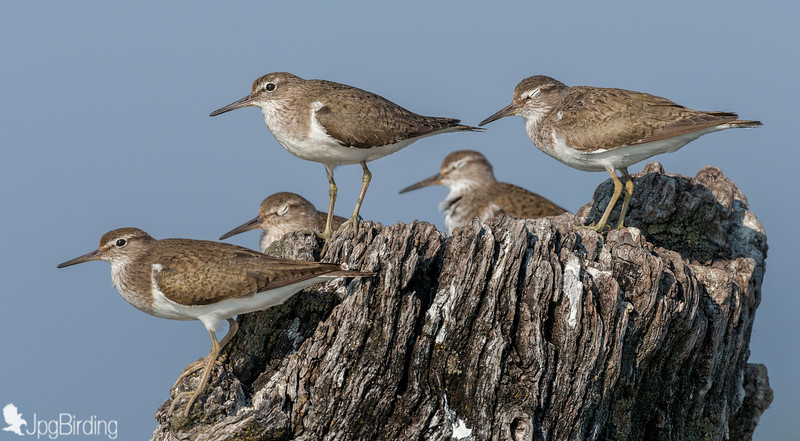 Common Sandpiper - group