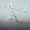Eurasian Spoonbill - flock in flight