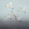 Eurasian Spoonbill - flock in flight