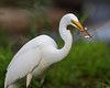HS-027: Great Egret