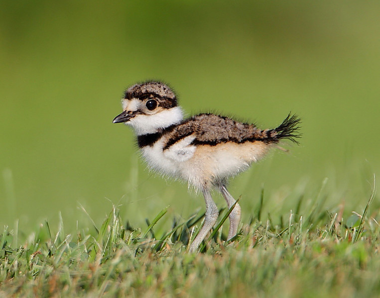 HS-028: Killdeer Chick