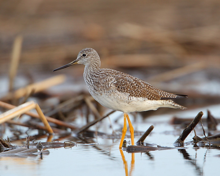 HS-039: Greater Yellowlegs