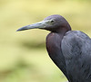 HS-61: Little Blue Heron