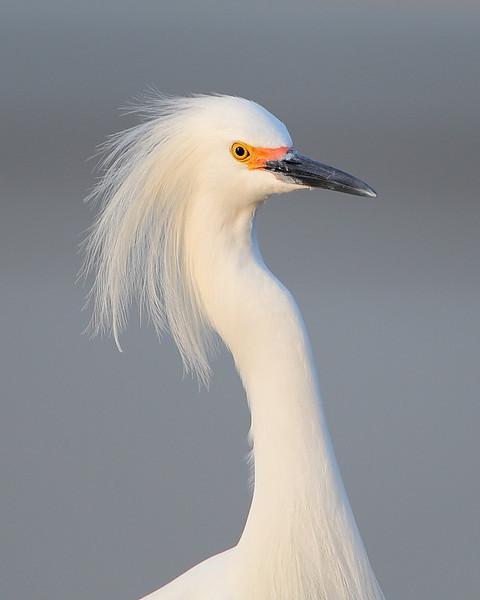 HS-021: Snowy Egret