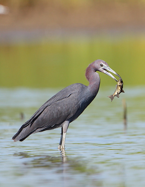 HS-035: Little Blue Heron