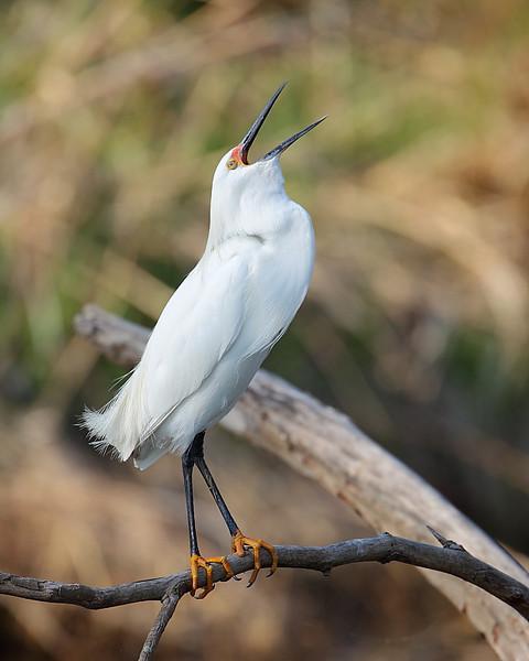 HS-023: Snowy Egret
