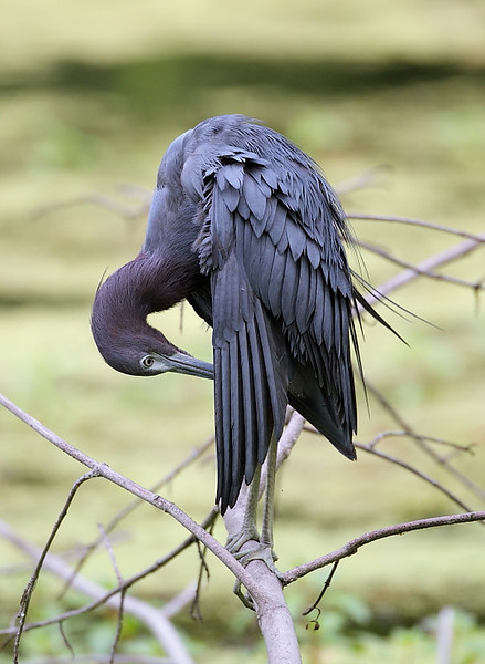 HS-62: Little Blue Heron