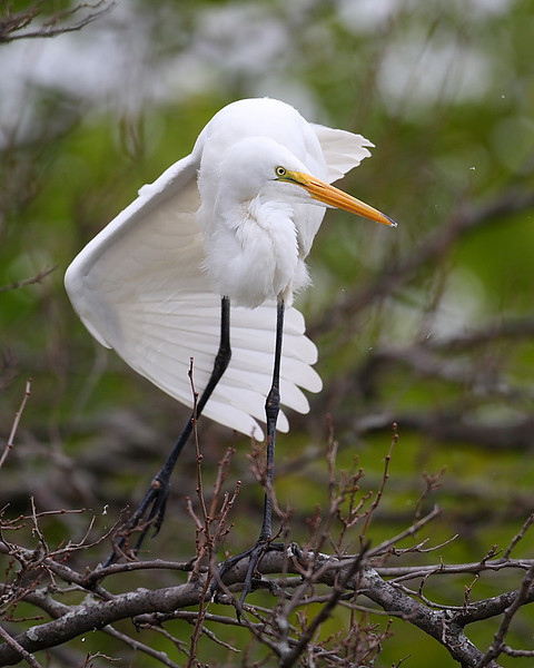 HS-007: Great Egret