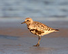 HS-015: Black-bellied Plover (Louisiana)