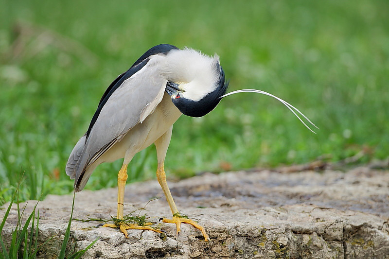 HS-030: Black-crowned Night Heron