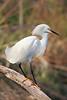 HS-025: Snowy Egret